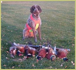 "Description: Description: Description: Description: Description: Description: <img src=""german wirehairsf"" alt=""German wirehaired pointer dog owners testimonials from owners of our pups."">"